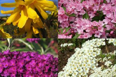 Høy blomstrende hekk 1