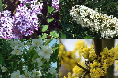 Høy blomstrende hekk 2