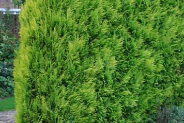 Gul lawsonsypress