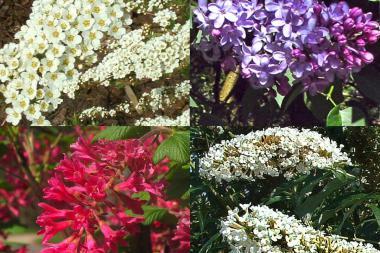 Hekk for sommerfugler og insekter