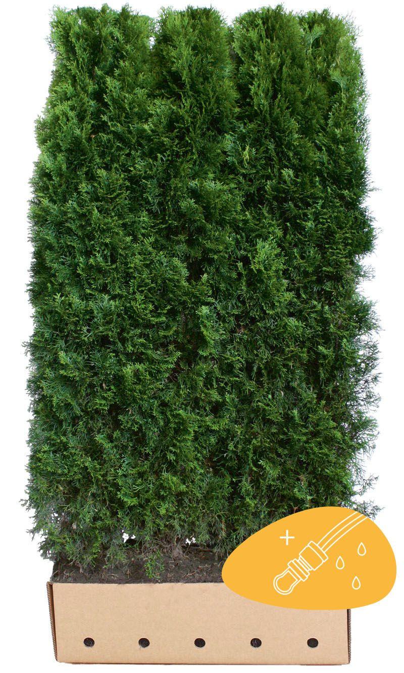 Tuja 'Smaragd' Ferdighekk 180-200 cm Ferdighekk