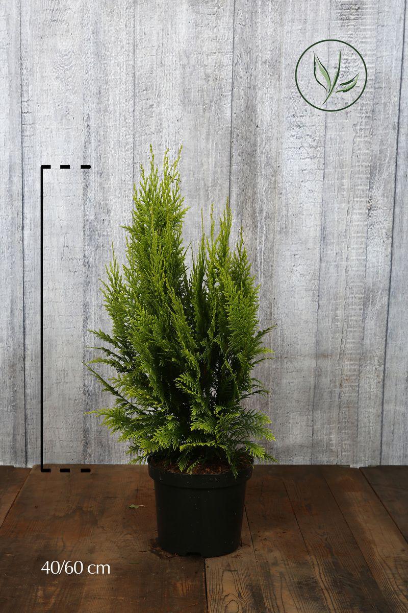 Gul lawsonsypress Potte 40-60 cm