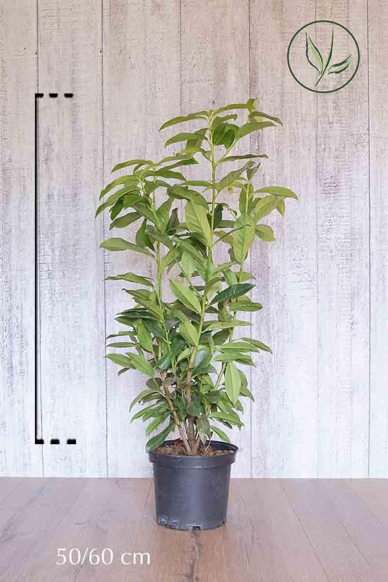 Laurbærhegg 'Genolia'® Potte 50-60 cm