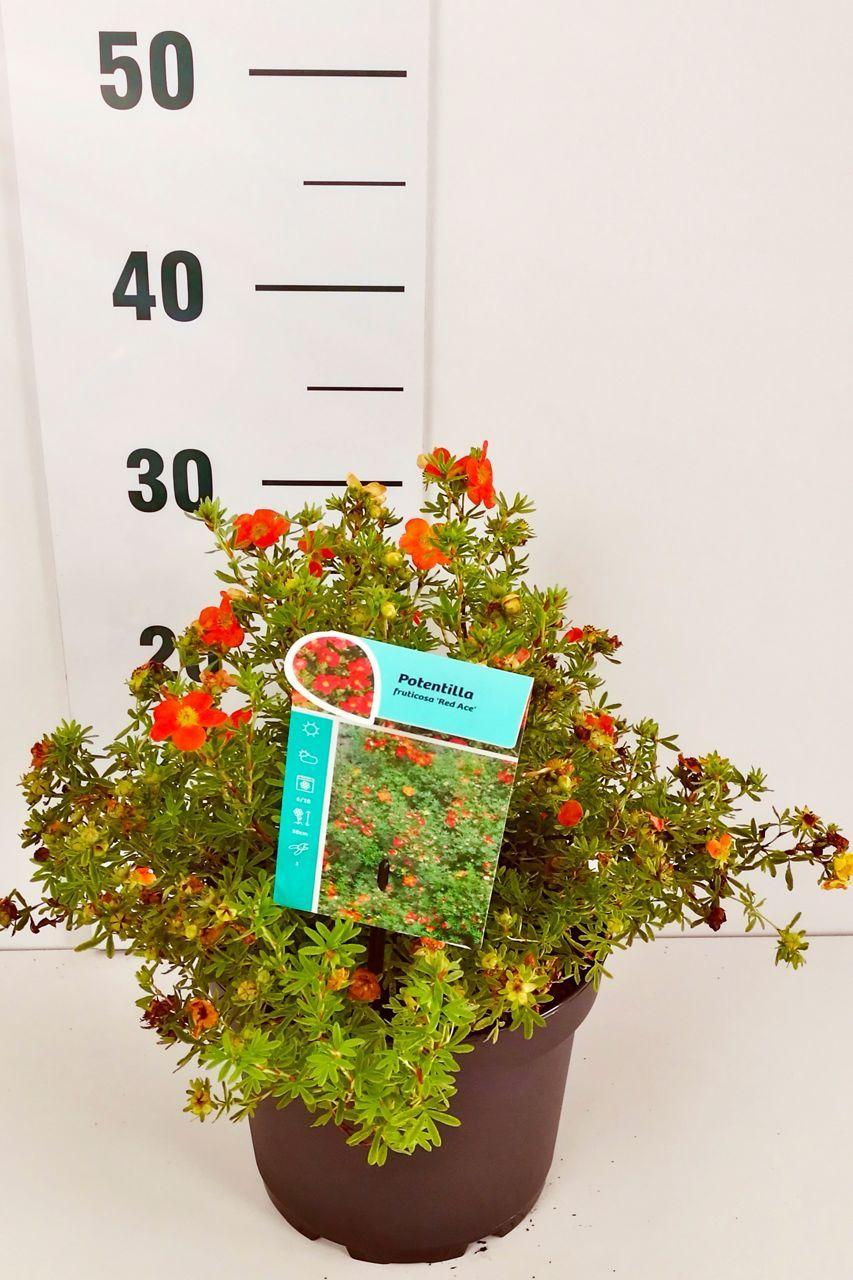 Buskmure 'Red Ace' Potte 30-40 cm