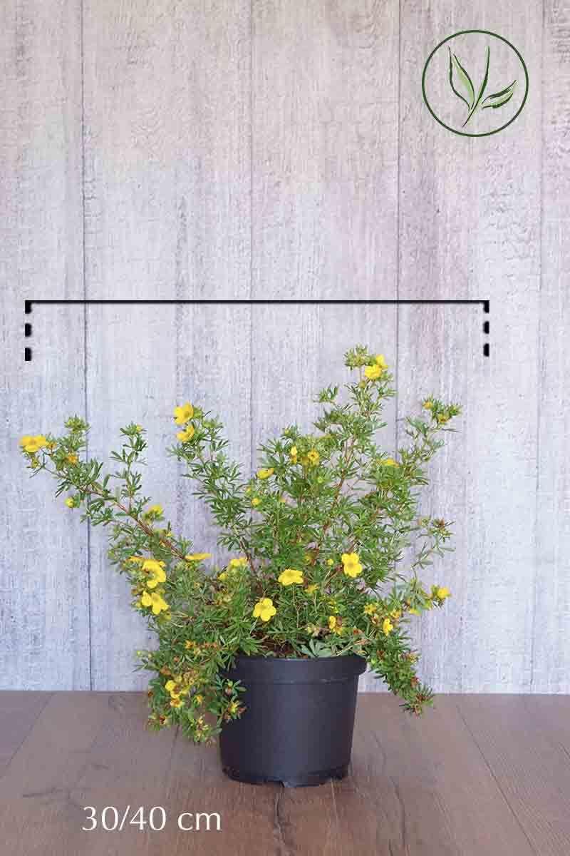 Buskmure 'Goldfinger' Potte 30-40 cm
