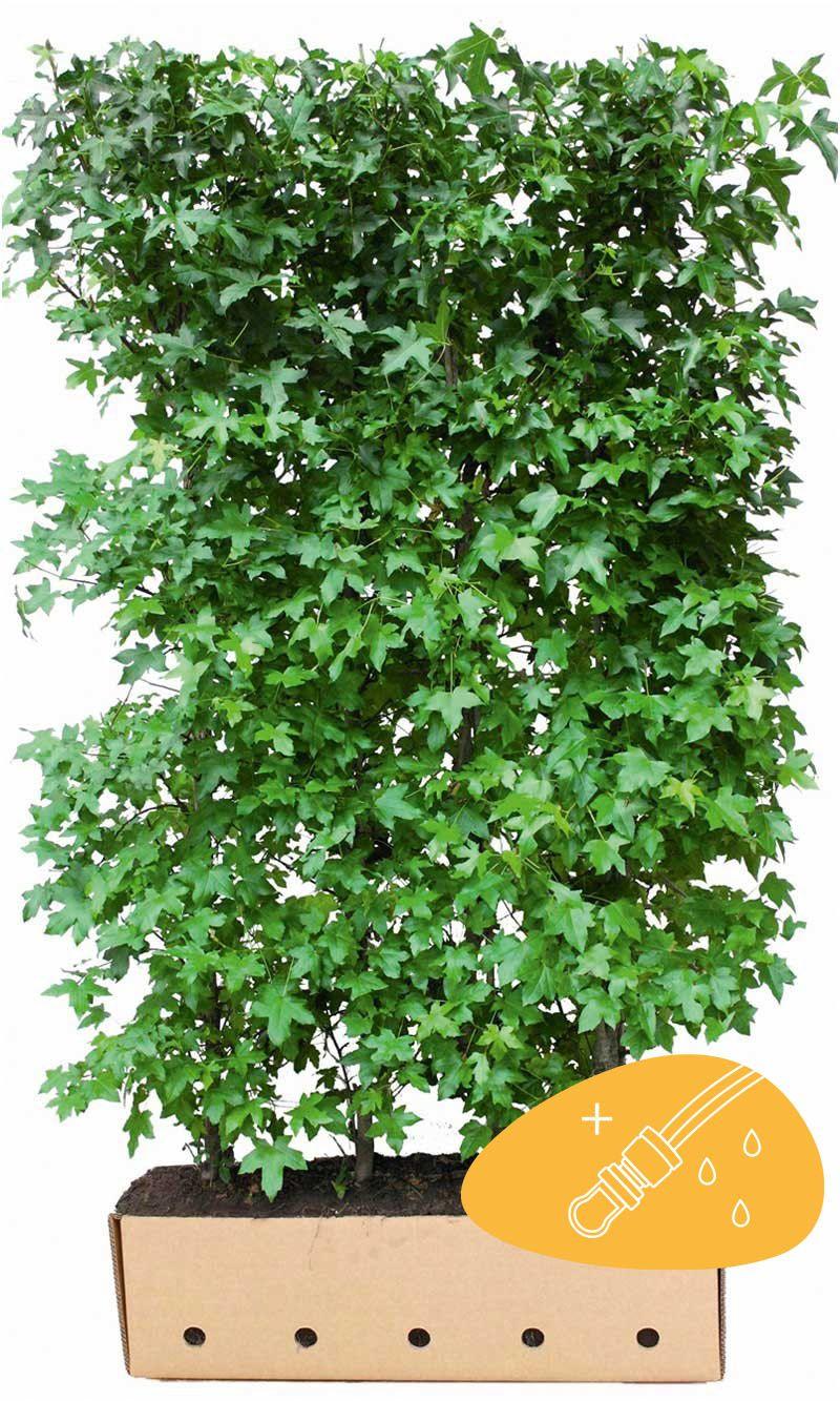 Ambratre Ferdighekk 200 cm Ekstra kvalitet