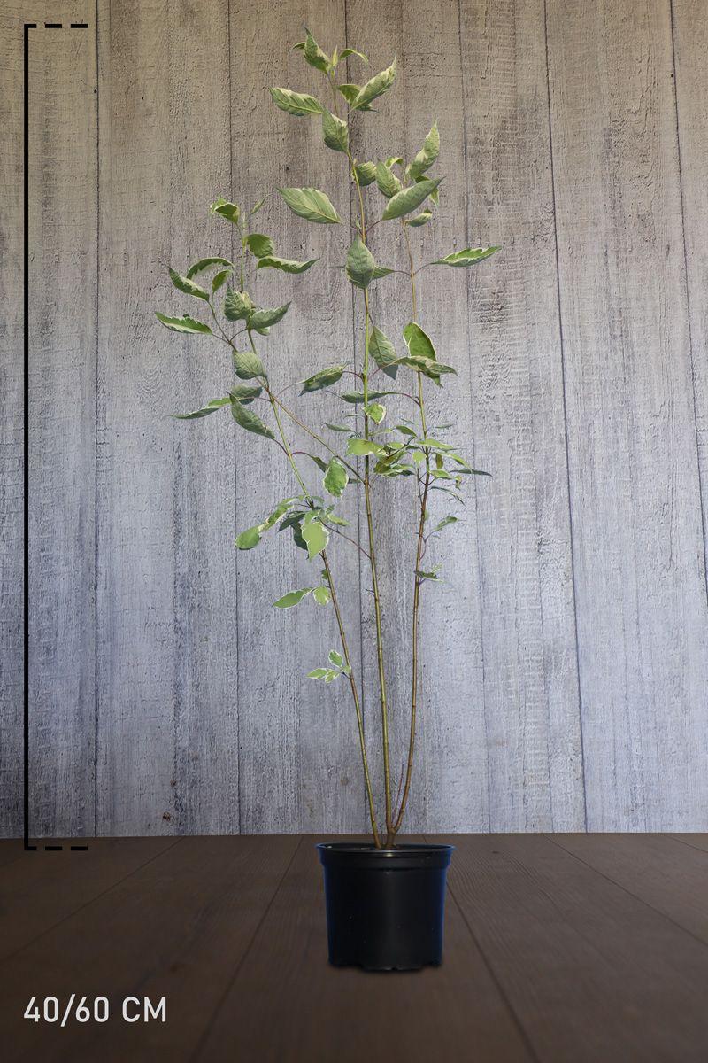 Hvitkornell Potte 40-60 cm