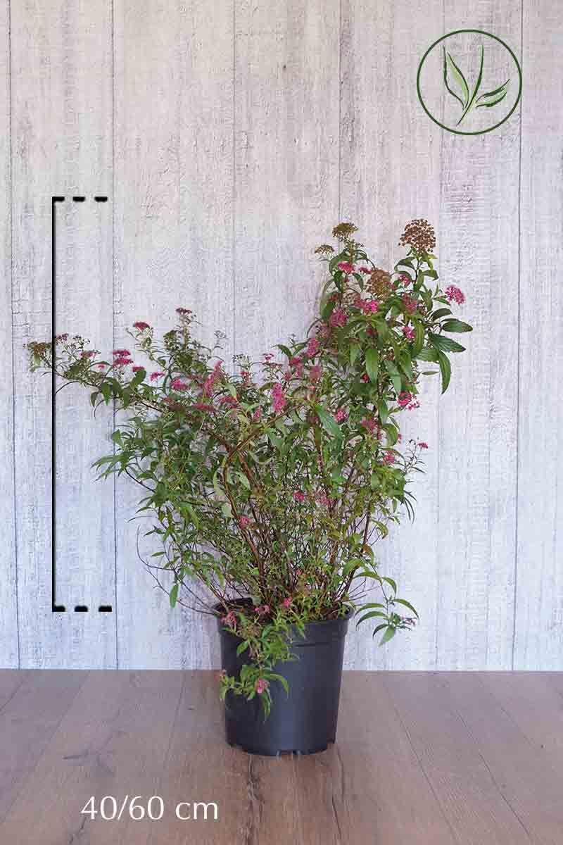 Japanspirea 'Anthony Waterer' Potte 40-60 cm
