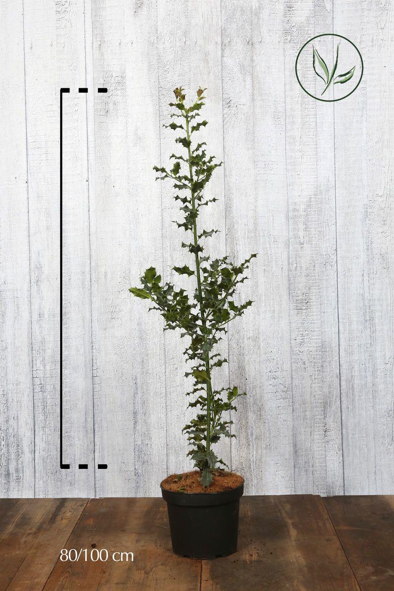 Kristtorn Potte 80-100 cm