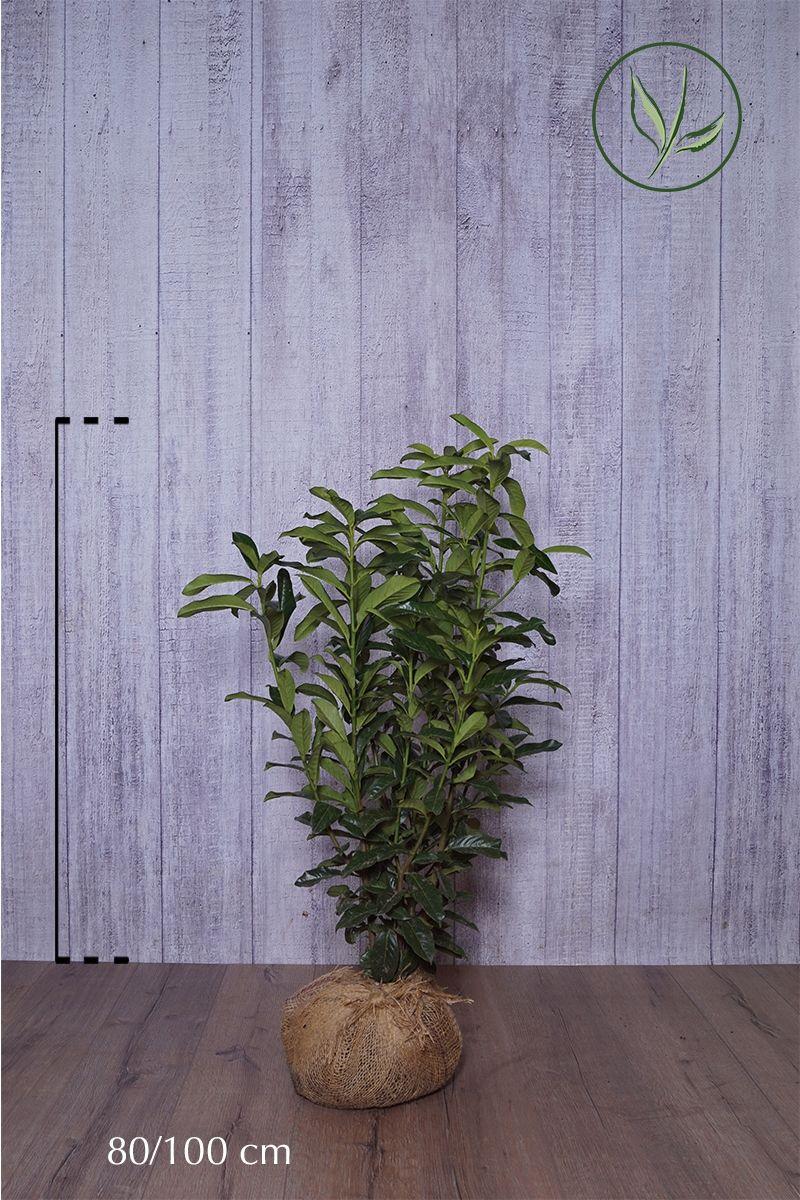 Laurbærhegg 'Genolia'® Klump 80-100 cm Ekstra kvalitet