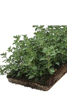 Kattemynte - plantematter