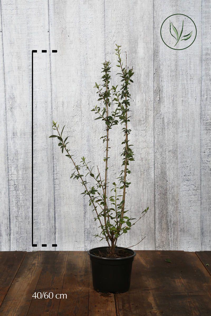 Eviggrønn liguster 'Atrovirens' Potte 40-60 cm