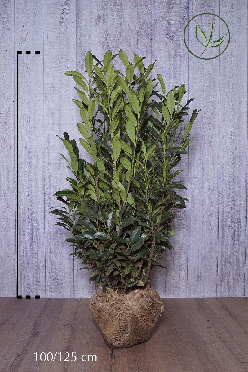 Kirschlorbeer 'Elly' - Prunus laurocerasus 'Elly' Klump 100-125 cm
