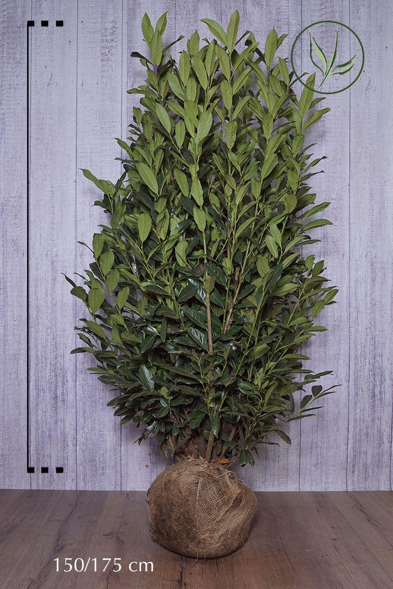 Kirschlorbeer 'Elly' - Prunus laurocerasus 'Elly' Klump 150-175 cm
