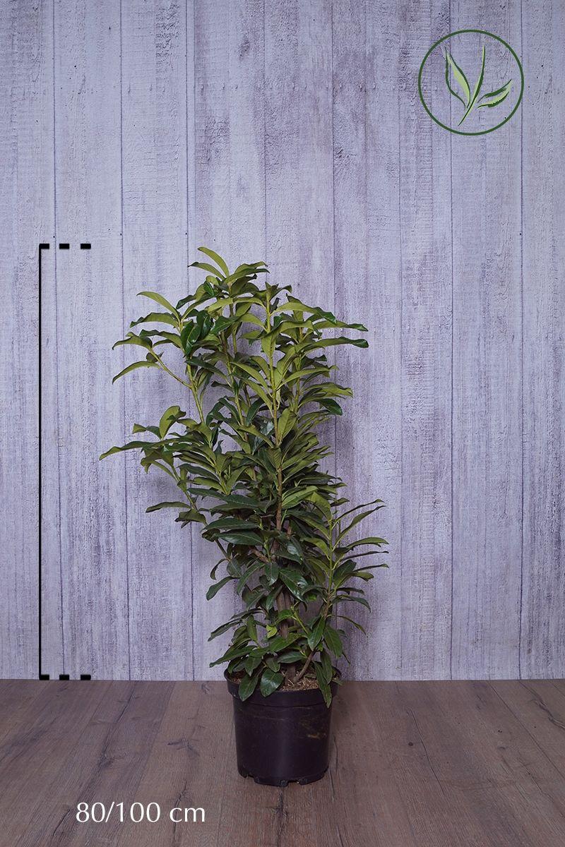 Laurbærhegg 'Genolia'® Potte 80-100 cm