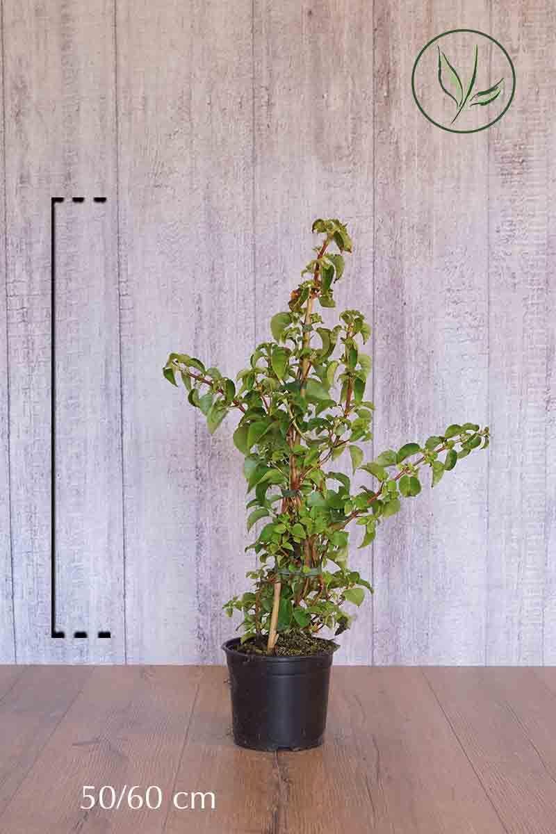 Klatrehortensia Potte 50-60 cm