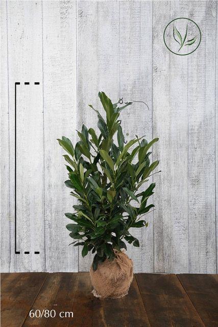 Kirschlorbeer 'Elly' - Prunus laurocerasus 'Elly' Klump 60-80 cm