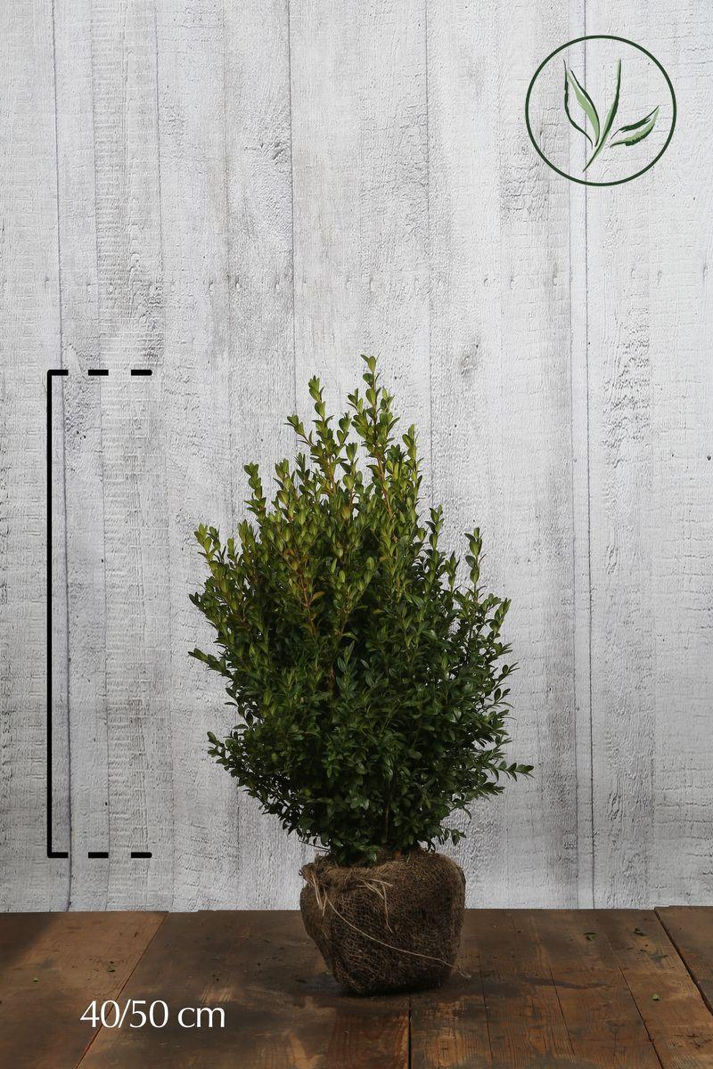 Buksbom - busk Klump 40-50 cm