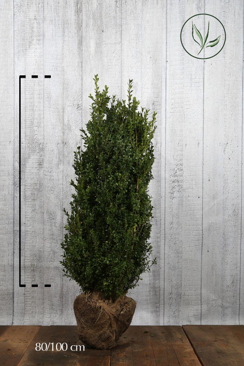 Buksbom - busk Klump 80-100 cm Ekstra kvalitet