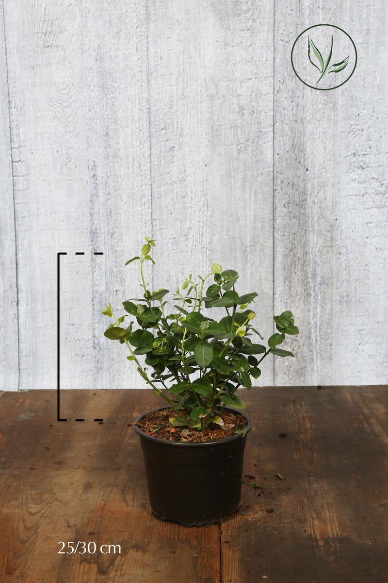 Klatrebeinved 'Vegetus' Potte 25-30 cm