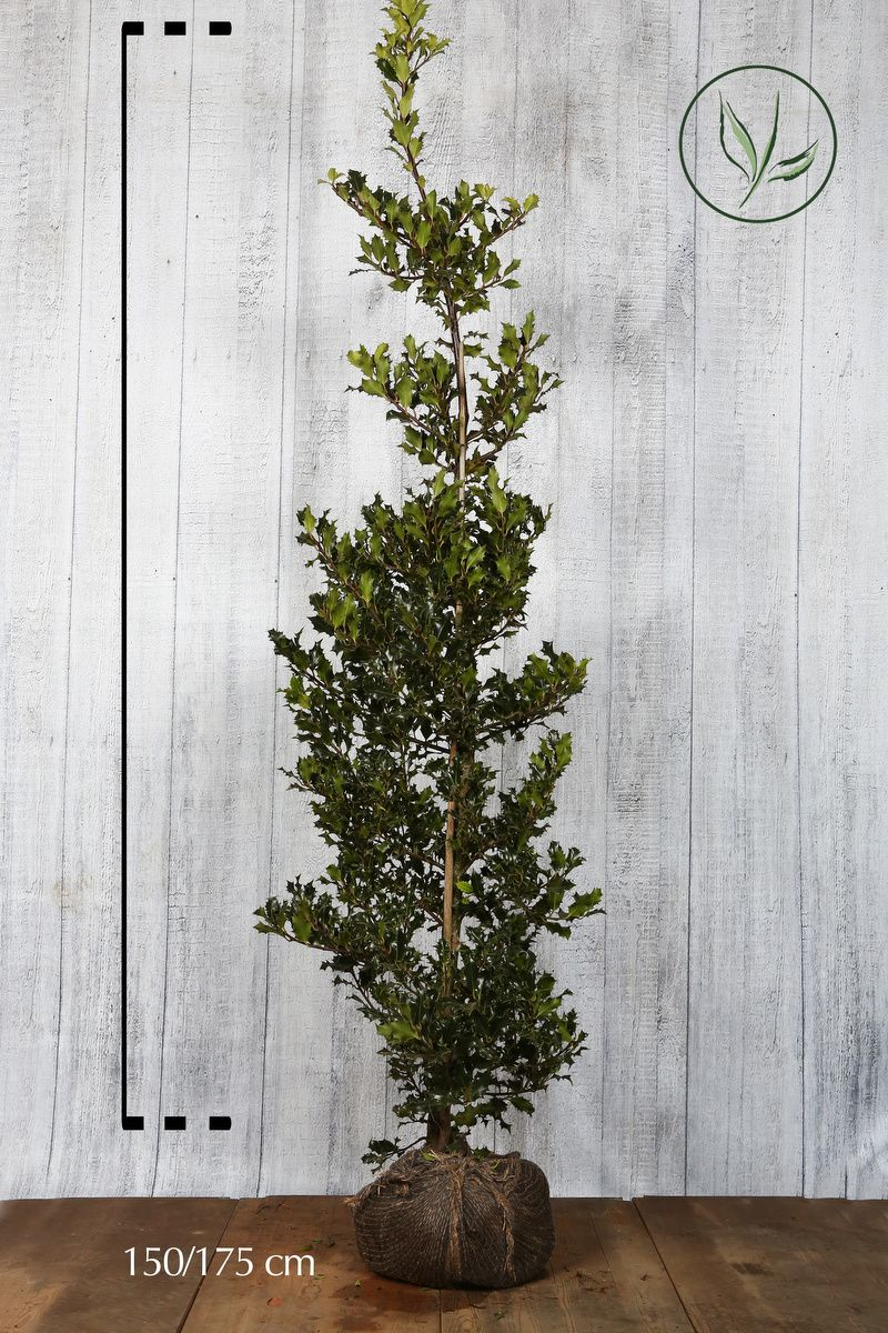 Kristtorn Klump 150-175 cm