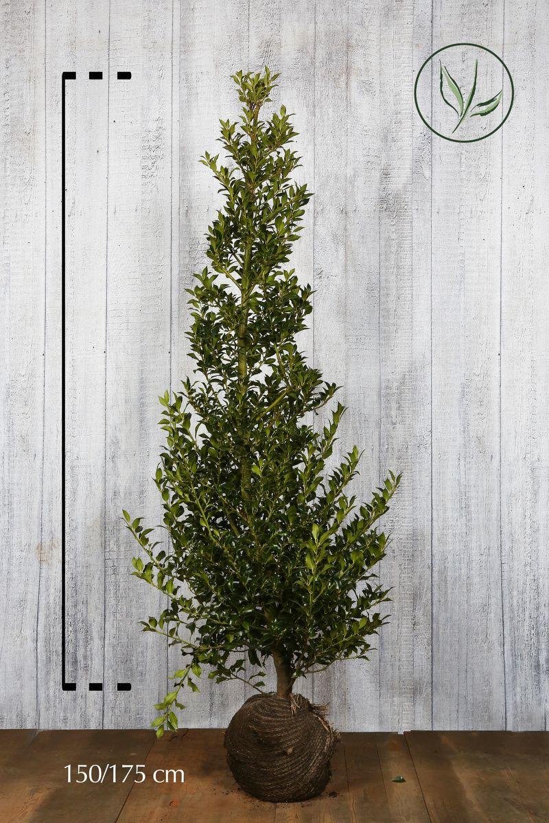 Kristtorn 'Alaska' Klump 150-175 cm Ekstra kvalitet