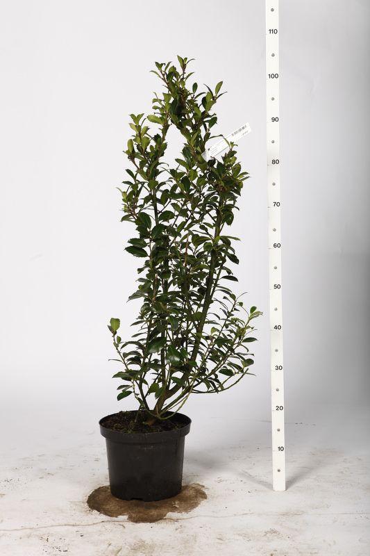Kristtorn 'Heckenpracht' Potte 80-100 cm Ekstra kvalitet