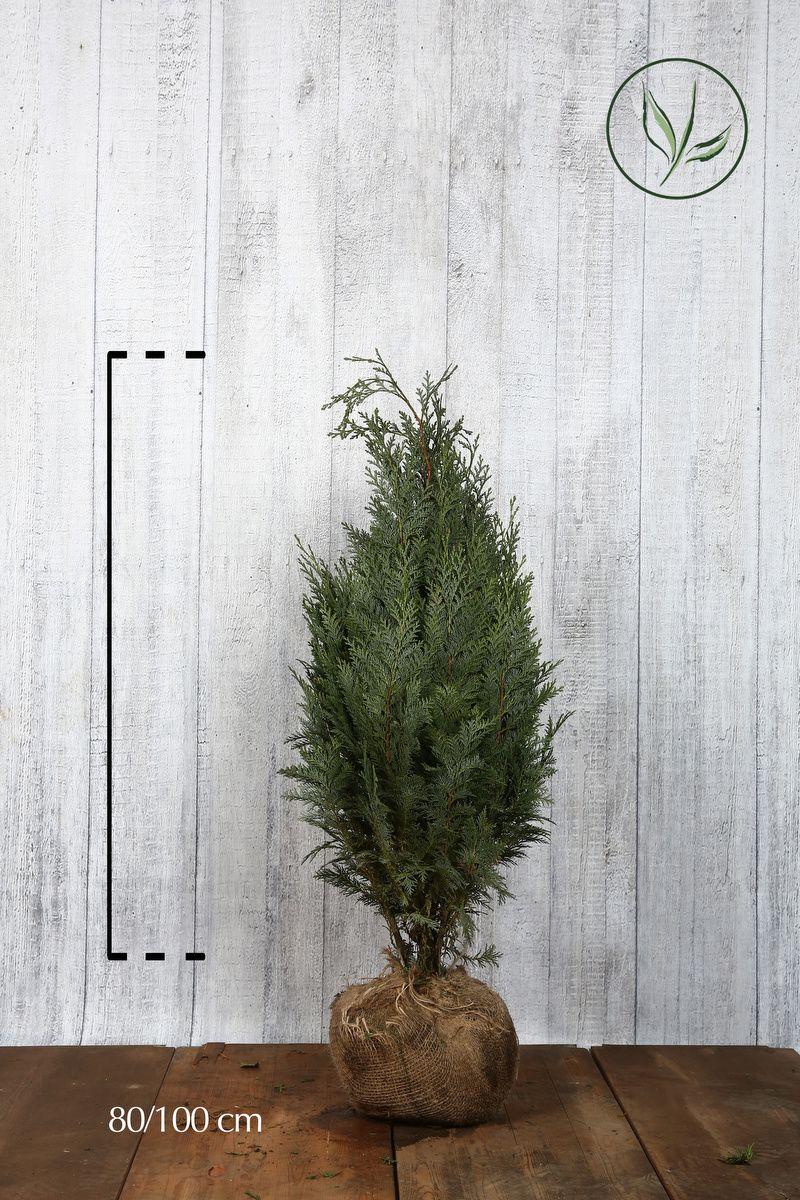 Blå lawsonsypress Klump 80-100 cm Ekstra kvalitet