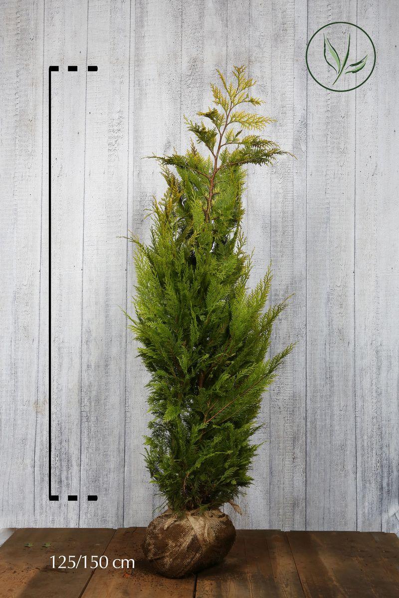 Gul lawsonsypress Klump 125-150 cm Ekstra kvalitet