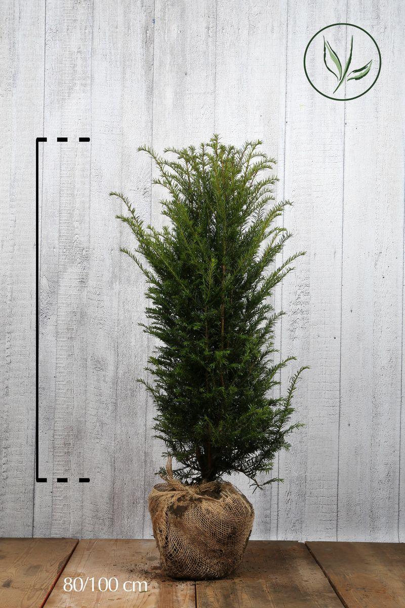 Europeisk barlind Klump 80-100 cm Ekstra kvalitet