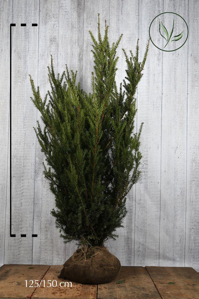 Barlind media 'Hillii' Klump 125-150 cm Ekstra kvalitet
