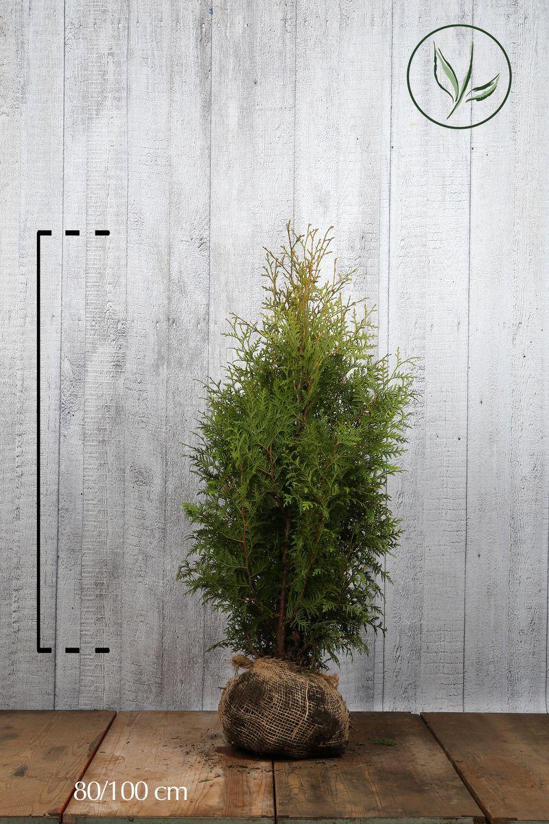 Tuja 'Brabant' Klump 80-100 cm Ekstra kvalitet