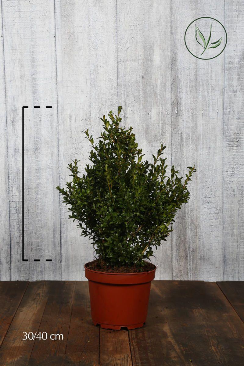 Buksbom - busk Potte 30-40 cm