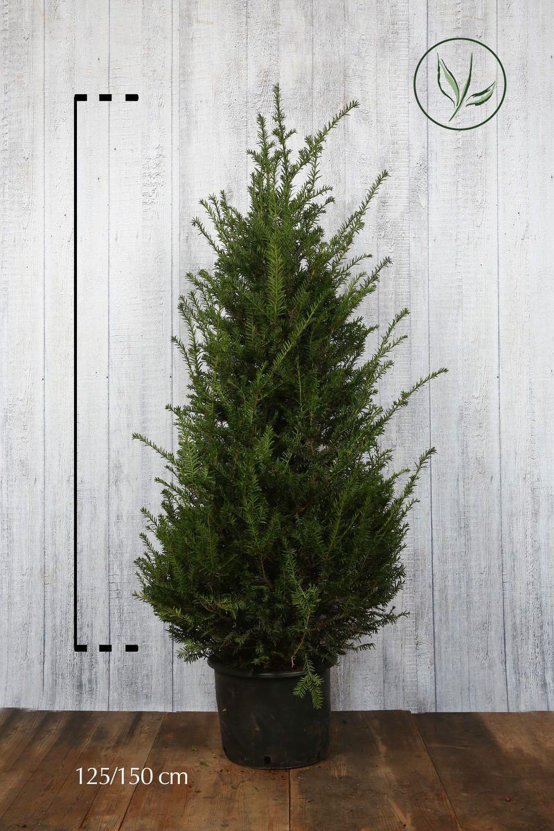Europeisk barlind Potte 125-150 cm