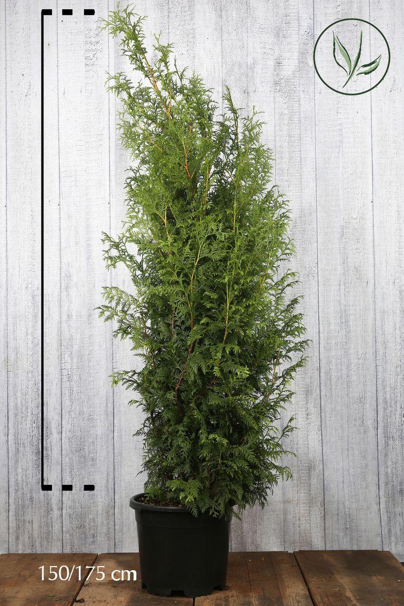 Tuja 'Excelsa' Potte 150-175 cm Ekstra kvalitet
