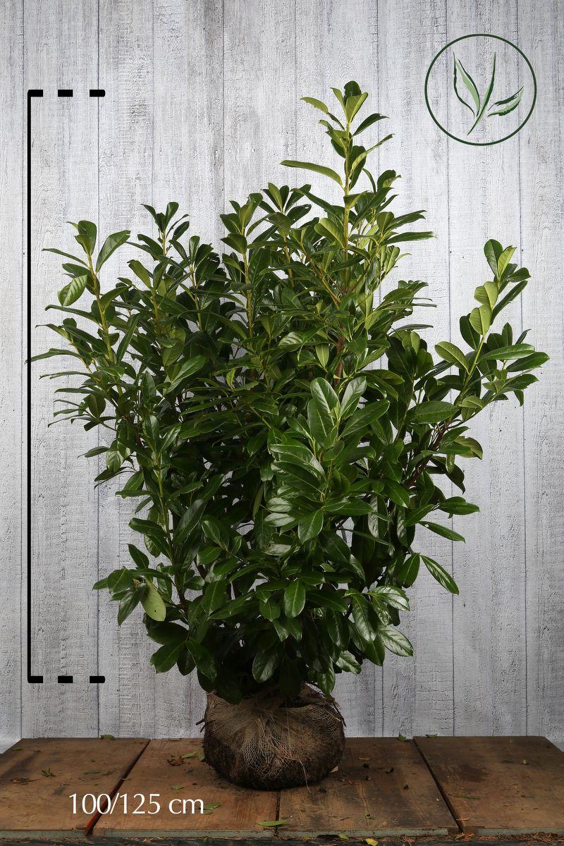 Laurbærhegg 'Novita' Klump 100-125 cm Ekstra kvalitet