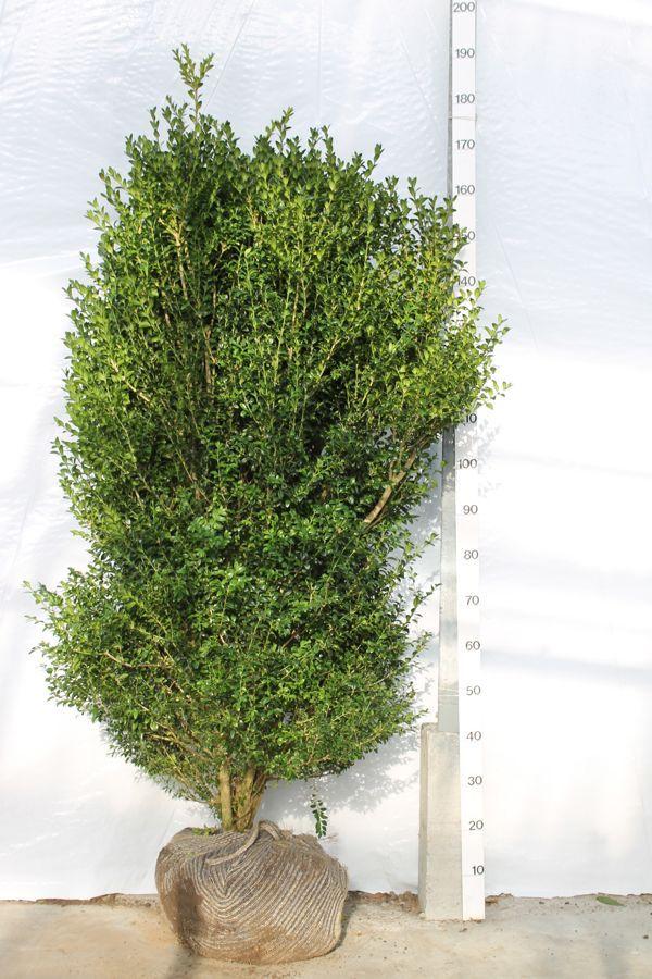 Buksbom - busk Klump 125-150 cm Ekstra kvalitet