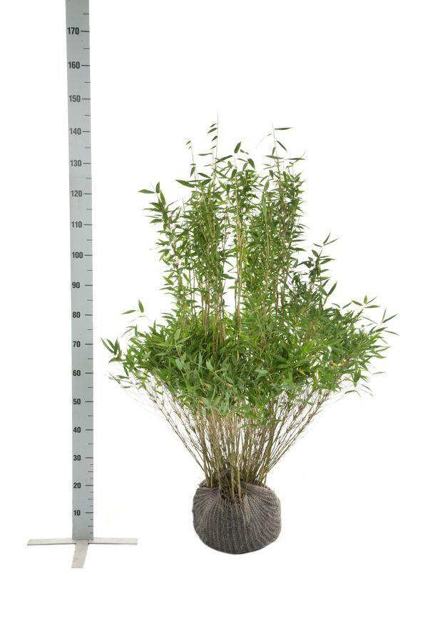 Fargesia murieliae 'Simba' Klump 100-125 cm