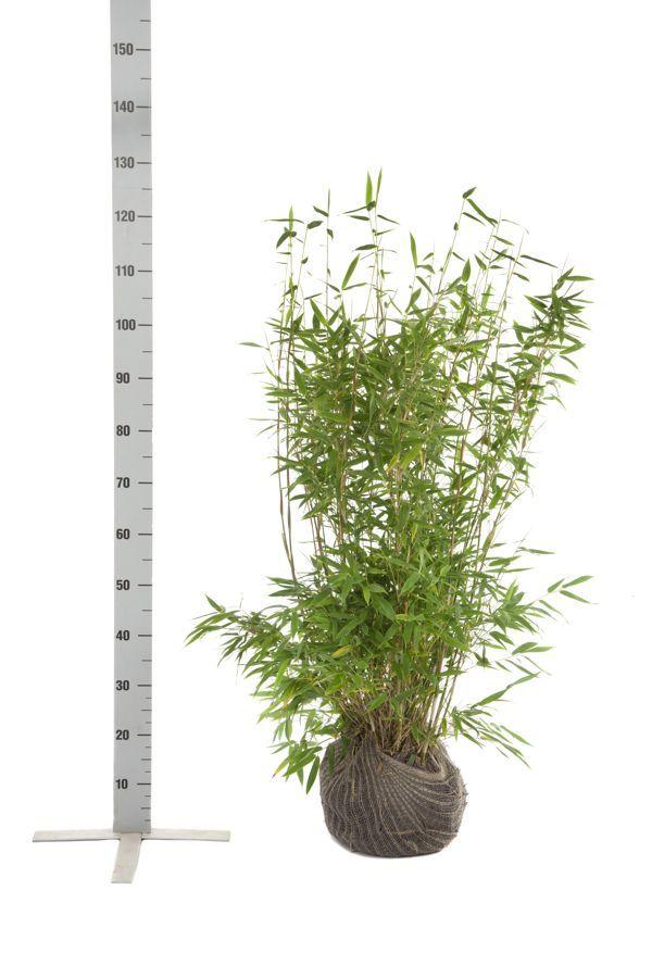 Fargesia murieliae 'Jumbo' Klump 80-100 cm