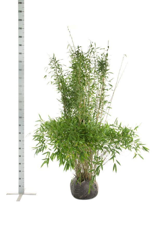 Fargesia murieliae 'Jumbo' Klump 150-175 cm