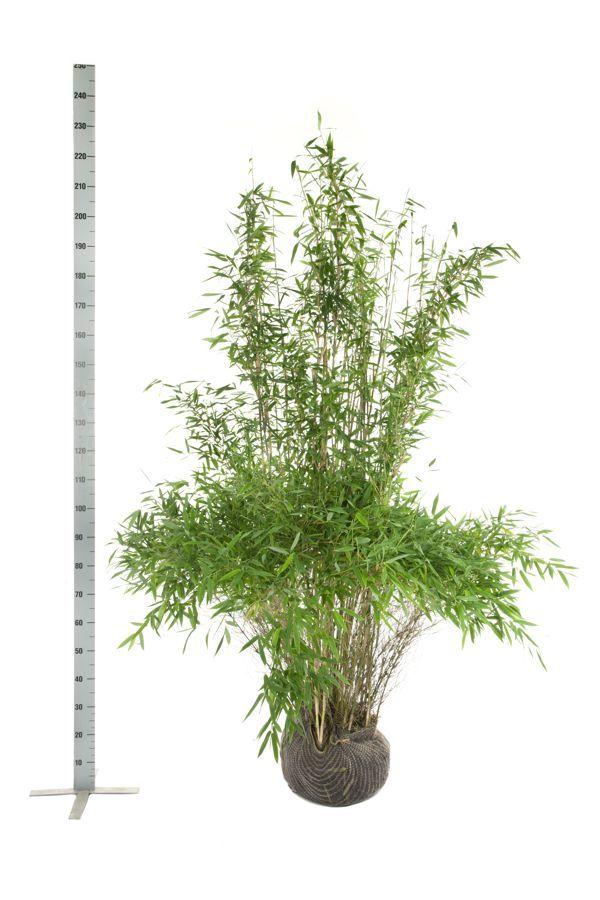 Fargesia murieliae 'Jumbo' Klump 175-200 cm
