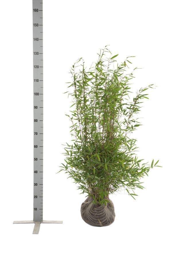 Fargesia nitida Klump 80-100 cm