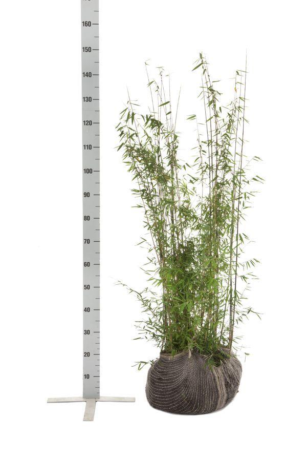 Fargesia jiuzhaigou Klump 100-125 cm
