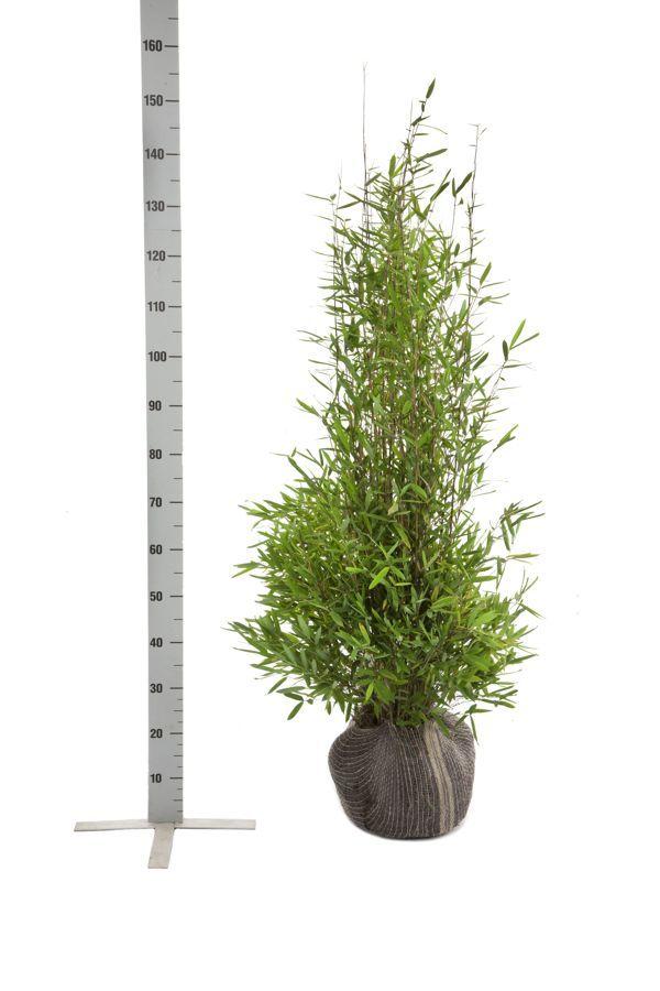 Fargesia nitida Klump 100-125 cm