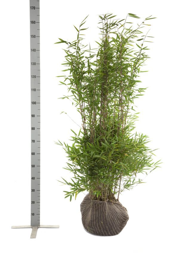 Fargesia nitida Klump 125-150 cm