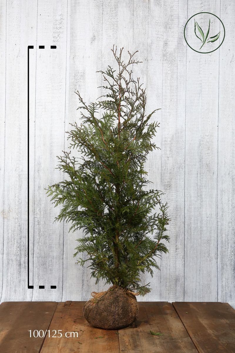 Tuja 'Excelsa' Klump 100-125 cm