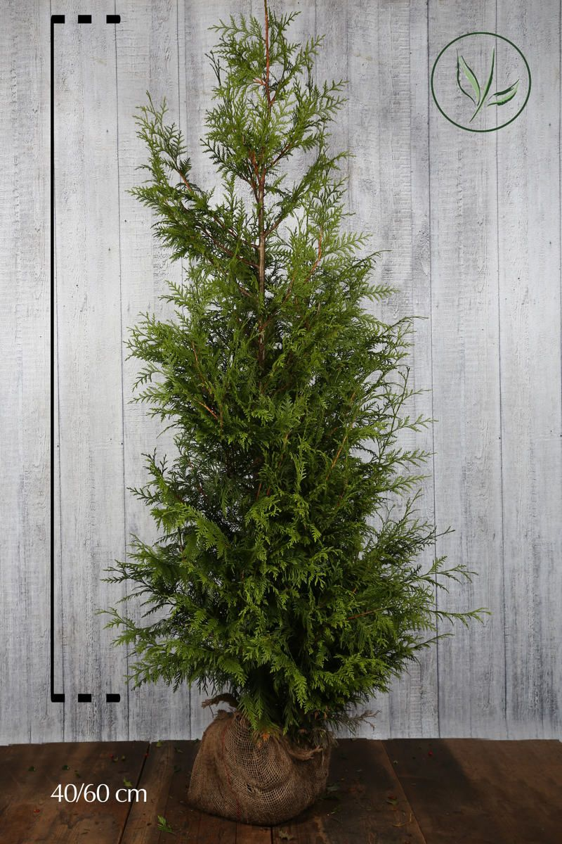 Tuja 'Excelsa' Klump 175-200 cm
