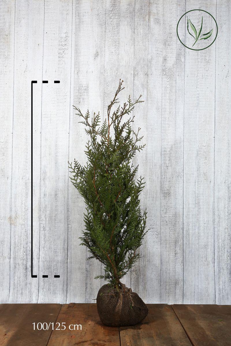 Tuja 'Atrovirens' Klump 100-125 cm