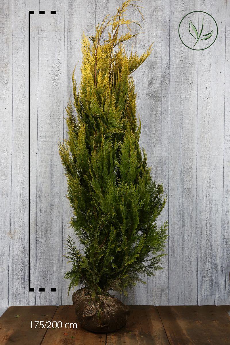 Gul lawsonsypress Klump 175-200 cm