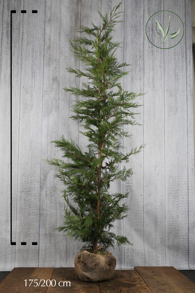 Grønn leylandsypress  Klump 175-200 cm